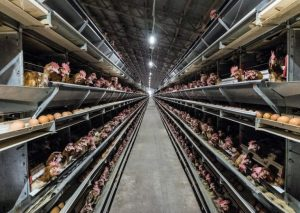 Factory Farming: The Industry Behind Meat and Dairy